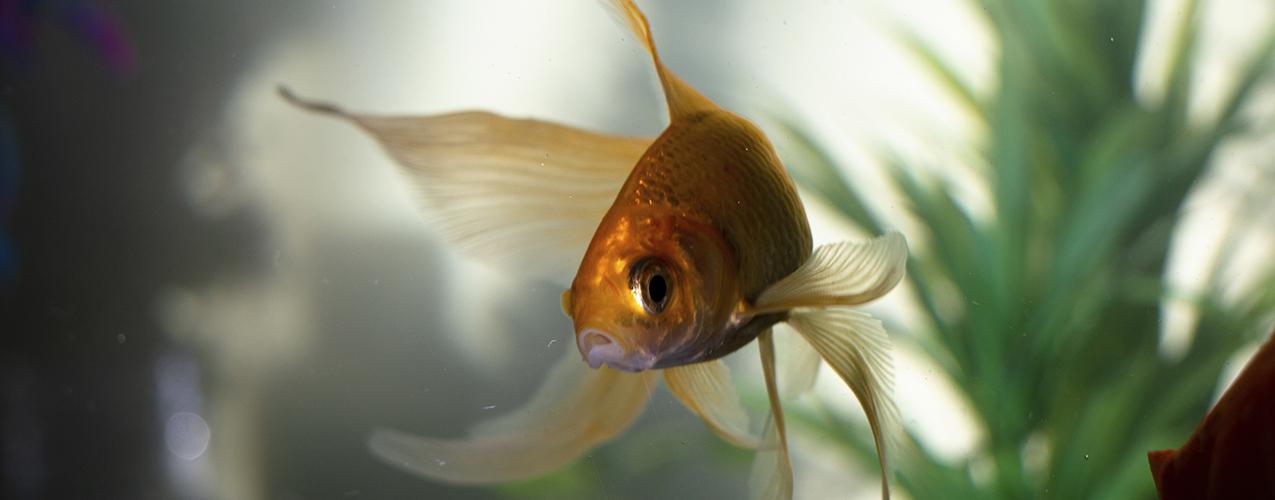 Solo necesitarás de un pez dorado para atraer la fortuna